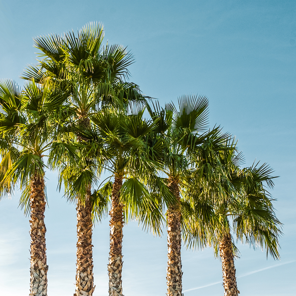 photo of a row of palm trees
